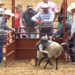Video: Kids take on mutton busting at San Benito rodeo