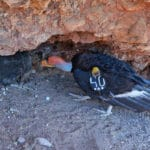 Condor chick flies from Pinnacles nest for first time in century