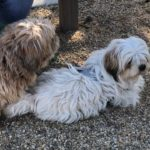 Pet of the Week: Lhasa Apso dogs are friendly pals