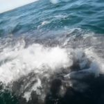 Community Video: Hollister couple encounters gray whale on trip