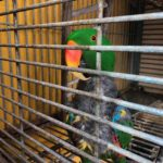 Impoverished, exotic parrot recovers after taken from San Juan home