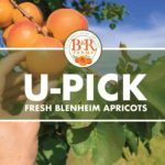 B&R letting public pick apricots to celebrate 90 years