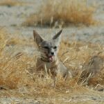 Panoche solar company sets aside land for endangered fox